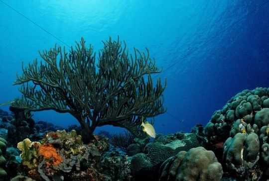 Caribbean Sea Animal Life: Caribbean Coral Reef, Trinidad, Caribbean Sea
