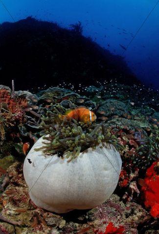 Maldives Anemonefish (Amphiprion nigripes) in white Magnificent Sea Anemone (Heteractis magnifica), Maldives, Indian Ocean