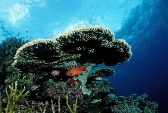 Pinecone soldierfish (Myripristis murdjan) under Table Coral, Indian Ocean, Maldives