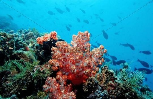 Coral reef with Red Soft Coral, Indian Ocean, Maldives