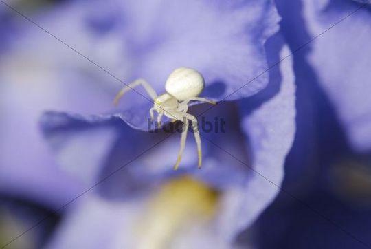 White crab spider (Thomisidae) on blue Iris Flower (Iris barbata sp.)