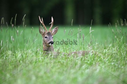 Roebuck (Capreolus capreolus) in grey winter coat in tall grass, Allgaeu, Bavaria, Germany, Europe