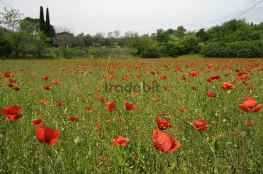 Poppy field at Lake Garda, Lago di Garda, Lombardy, Northern Italy, Europe