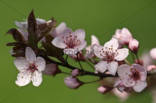 Flowering Cherry plum or Myrobalan plum (Prunus cerasifera)