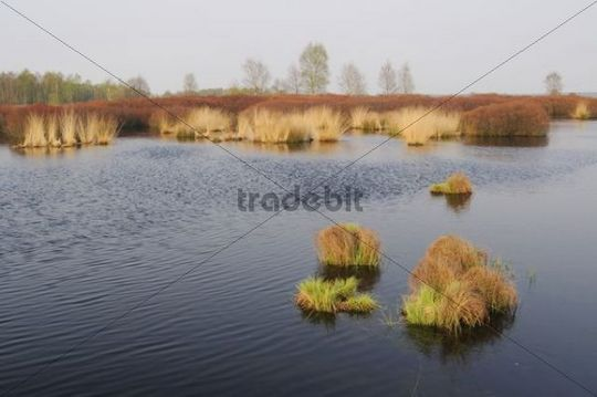 Bog Myrtle or Sweet Gale shrubs (Myrica gale) in the raised bog Tinner Box, Lower Saxony, Germany, Europe