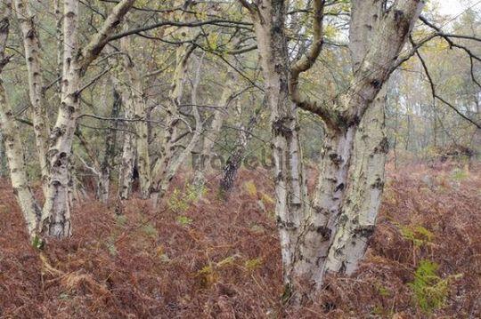 Downy Birch, White Birch, European White Birch or Hairy Birch (Betula pubescens) forest and Bracken (Pteridium aquilinum)