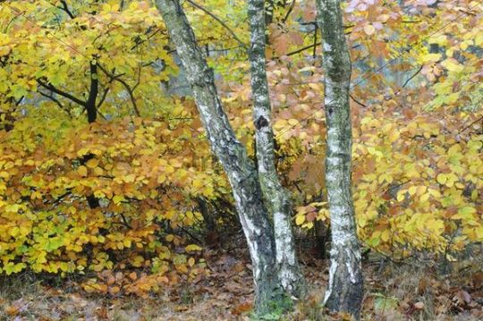 Birch trees (Betula pendula) and beech foliage (Fagus sylvatica)