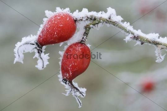 Rose hips (Rosa canina) with hoarfrost