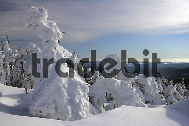 landscape with snow-covered conifers in the German national park Hochharz in winter at the top of the Brocken mountain - Brocken, Harz, national park Hochharz, Saxony-Anhalt, Germany Europe
