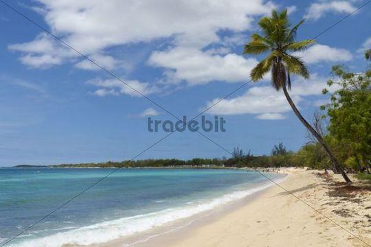 Palm tree on the Anse du Souffleur beach, Port-Louis, Grande-Terre, Guadeloupe island, French Antilles, Lesser Antilles, Caribbean