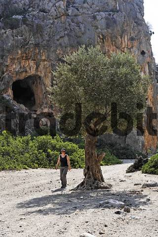 olive tree and hiker in Agiofarango gorge, Southern Crete, Greece