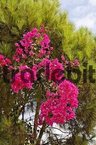 Bougainvillea and pine, Crete, Greece