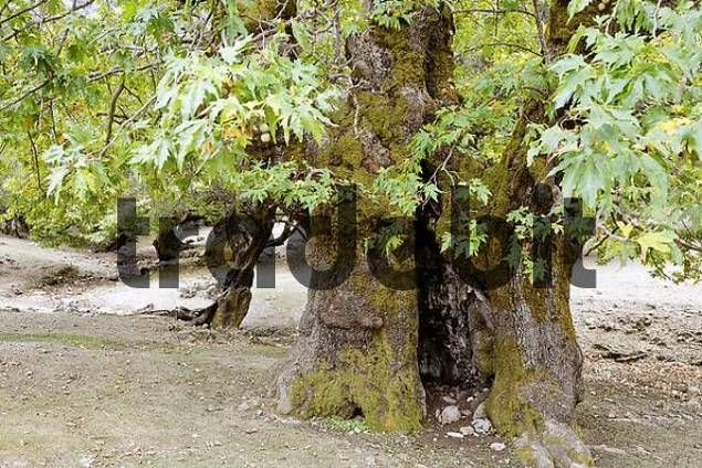 old sycamore tree Planetree, Platanus x acerifolia, Ida Mountains, Central Crete, Greece