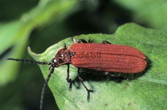 Scarlet Net-winged Beetle (Dictyoptera aurora)
