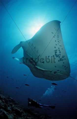 Manta Ray (Manta birostris) and a scuba diver, Maldives, Indian Ocean