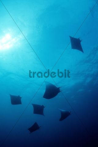 Box Rays or Mobulas (Mobula tarapacana), Maldives, Indian Ocean