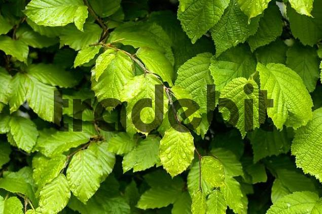 wet leaves beech and hazelnut