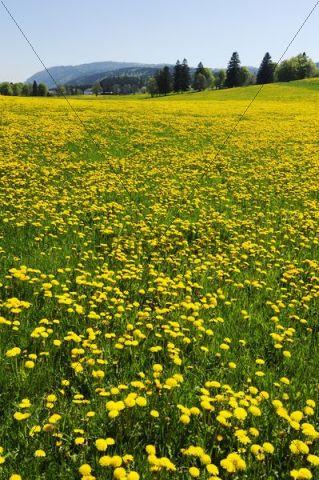 Field of blooming Dandelion (Taraxacum sect. Ruderalia), Jura, Switzerland, Europe