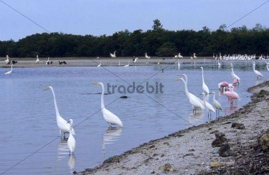 Great Egret (Casmerodius albus), Snowy Egret (Egretta thula) and Roseate Spoonbill (Ajaia ajaia)