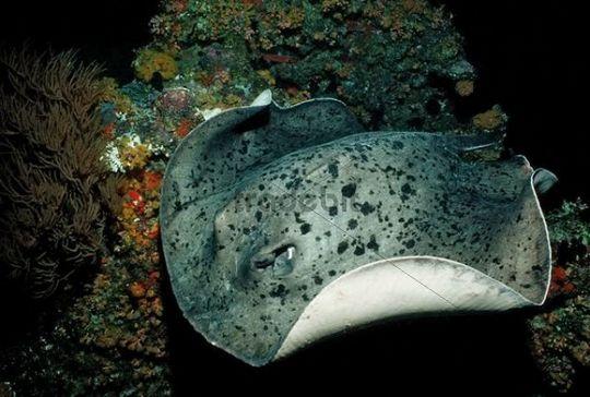 Blotched Fantail Ray (Taeniura meyeni), Maldive Islands, Indian Ocean