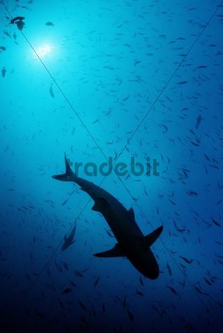 Grey Reef Shark (Carcharhinus amblyrhynchos), Maldive Islands, Indian Ocean