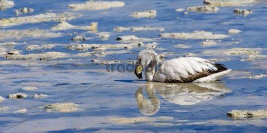 Young Puna or Jamess Flamingo (Phoenicoparrus jamesi), Laguna Hedionda, Potosi, Bolivia, South America