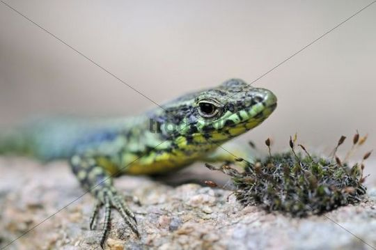 Tyrrhenian Wall Lizard (Podarcis tiliguerta), Corsica, France, Europe