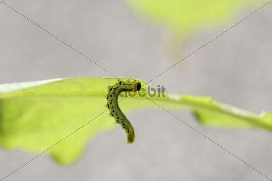 Sawfly, larva (Craesus septentrionalis)