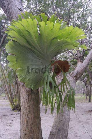 Common staghorn fern, Elkhorn fern (Platycerium bifurcate), Australia
