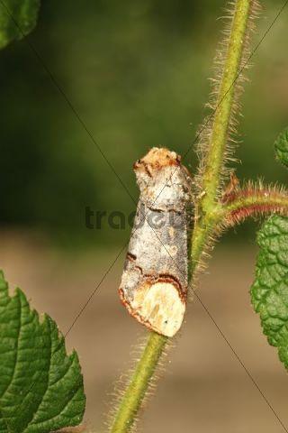 Buff-tip Moths (Phalera bucephala), Allgaeu, Bavaria, Germany, Europe