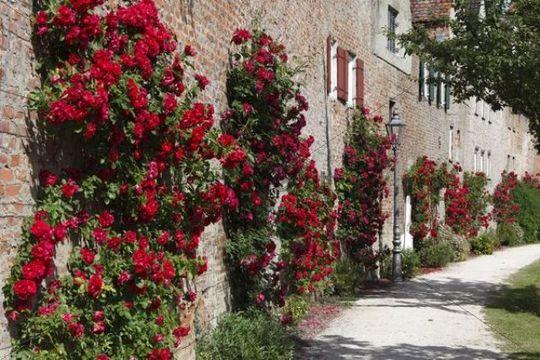Roses on the city walls, Donauwoerth, Donauried, Swabia, Bavaria, Germany, Europe