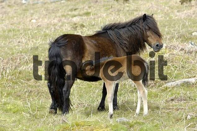 Pony with foal Dartmoor National Park Devon England