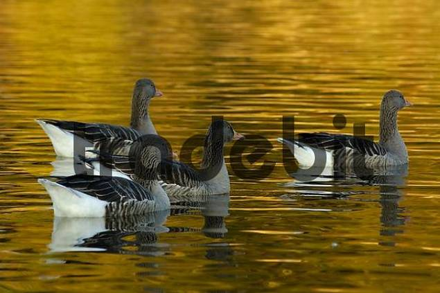 grey geese in gold-coloured water