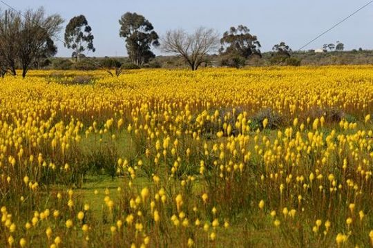 Meadow with countless Bulbinella latifolia or rooikatstert (Bulbinella latifolia), Bokkeveld Plateau, Namaqualand, South Africa, Africa
