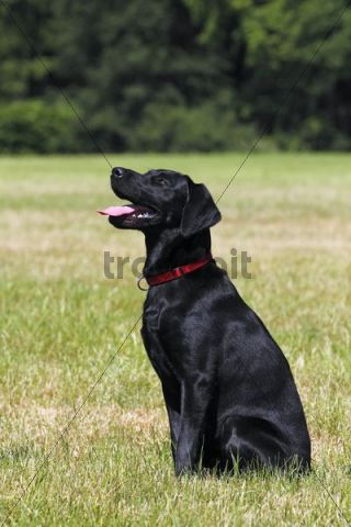 Young Black Labrador Retriever Dog Sitting Male Short
