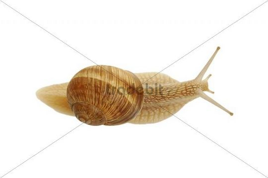 Burgundy snail, Roman snail (Helix pomatia)