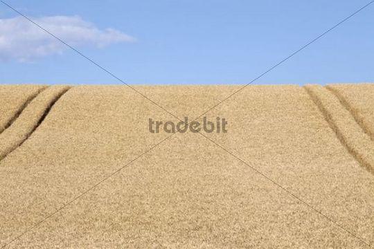 Wheatfield (Triticum) with lane