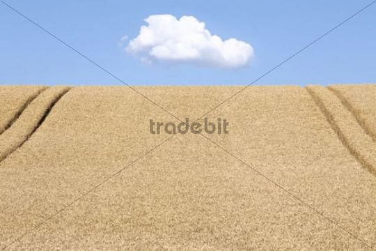 Wheatfield (Triticum) with lane