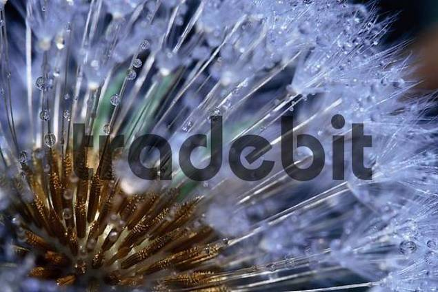 blowball with drops