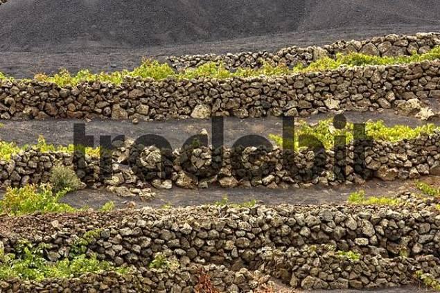 winegrowing in La Geria Lanzarote Canaries