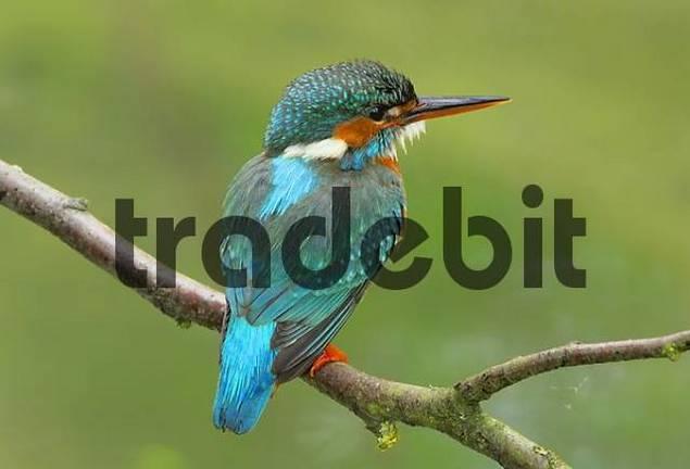 European Kingfisher Alcedo atthis , Reusstal, Switzerland