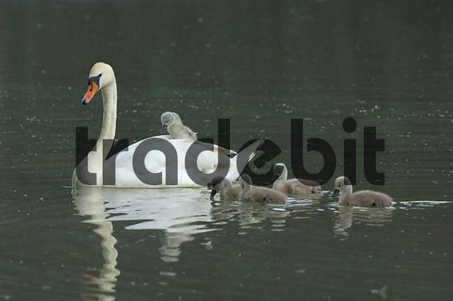 Mute Swan  Cygnus olor with chicks, Zugersee, Switzerland