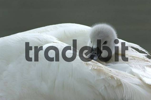 Mute Swan chick  Cygnus olor on the back of its mother, Zugersee, Switzerland