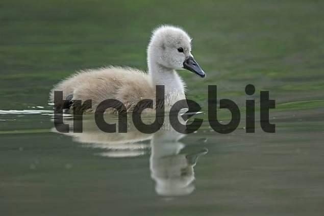 Mute Swan chick  Cygnus olor, Zugersee, Switzerland