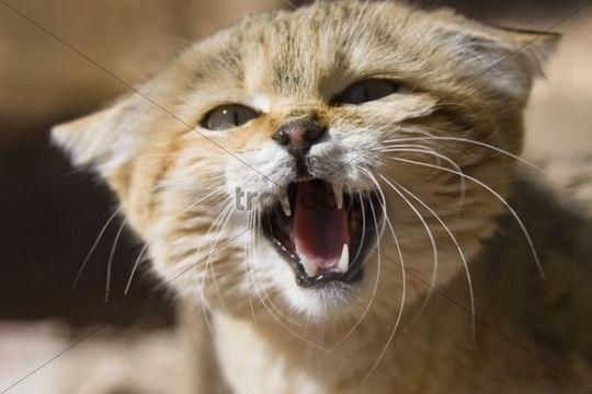 African Wildcat (Felis silvestris lybica), snarling, Libya, North Africa, Africa