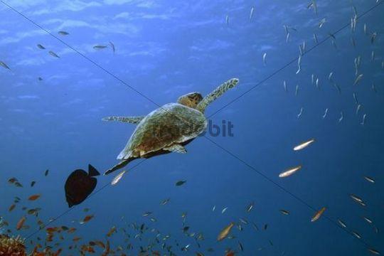 Hawksbill Turtle (Eretmochelys imbricata), Marsa Alam, Red Sea, Egypt, Africa