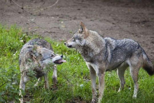 Wolves (Canis lupus), submissive gestures, behavior, Europe