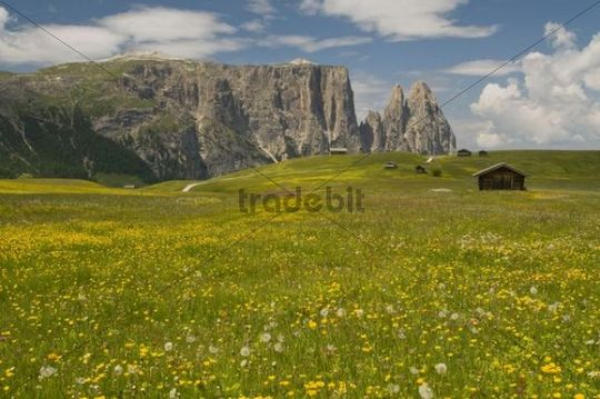 Flower meadow in front of the Schlern mountain, Seiser Alm, Alpe di Siusi, Dolomites, South Tyrol, Italy, Europe