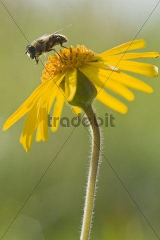 Bee (Apis mellifera) on Wolf´s bane, Mountain arnica (Arnica montana)