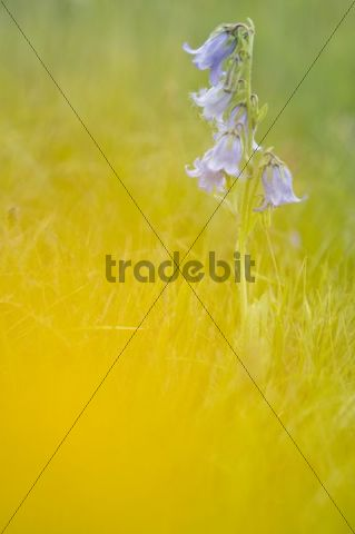 Sweet William (Dianthus barbatus), Seiser Alm, Dolomites, Alto Adige, Italy, Europe